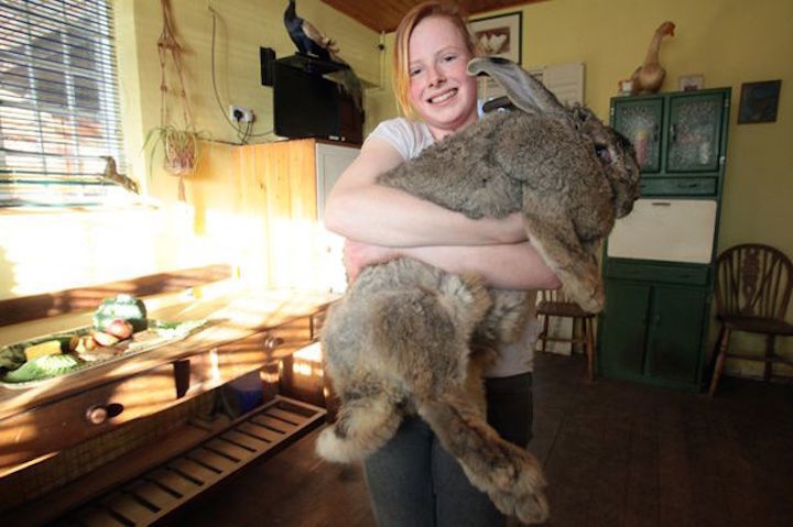 Ralph: 55 pound rabbit from the UK.