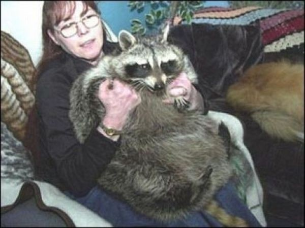 Bandit: 75 pound raccoon from Pennsylvania.