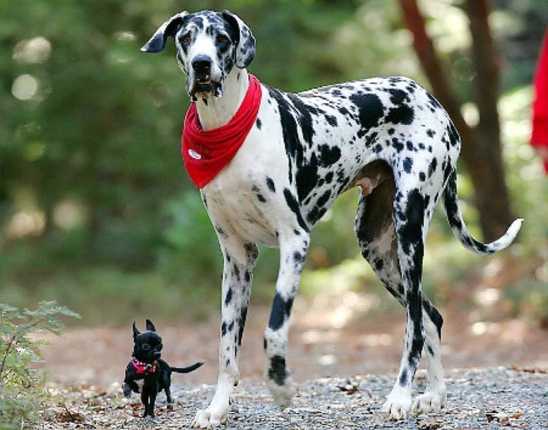 Gibson: 42.2 inch tall Great Dane from Grass Valley.