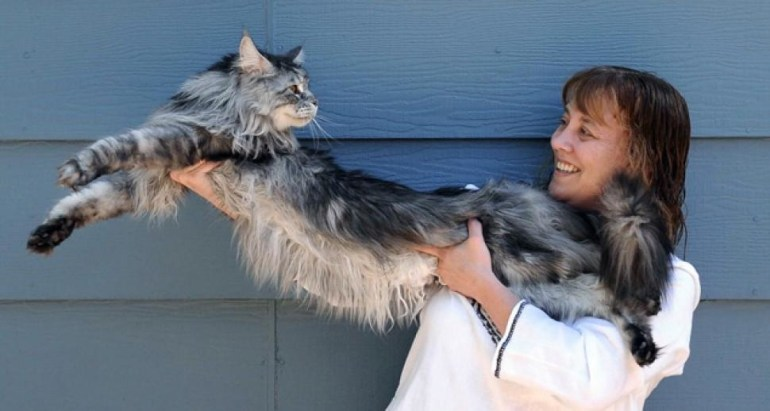 Stewie: 48.5 inch long cat from Nevada.