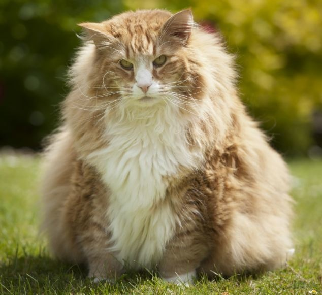Ulric: 30 pound Norwegian forest cat from the UK.