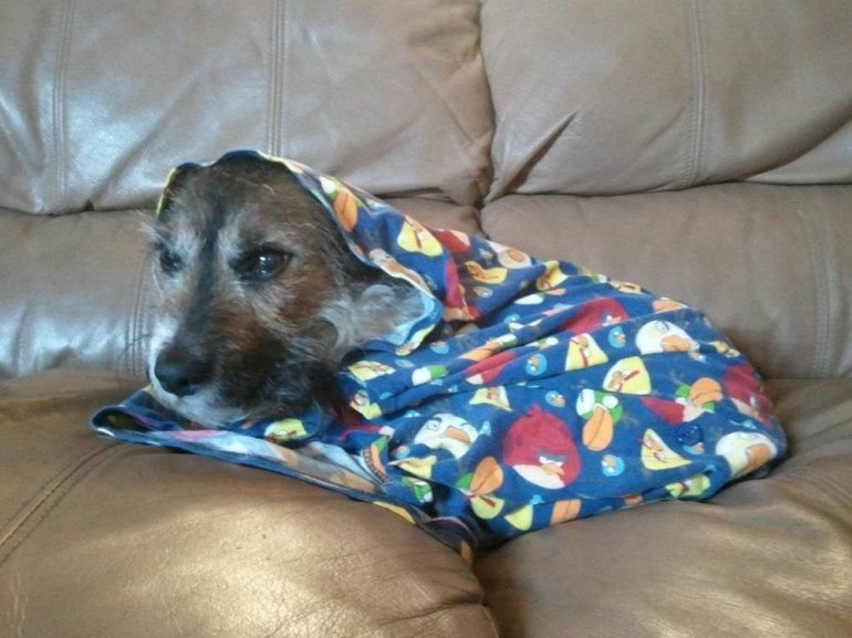 Angry dog covered in an Angry Birds blanket.