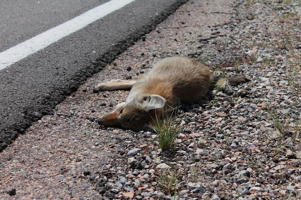 Animal accidenté et soigné en urgence, doit-on payer la facture ?