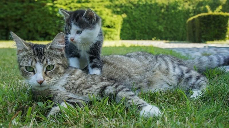 Détecter la gestation d'une chatte