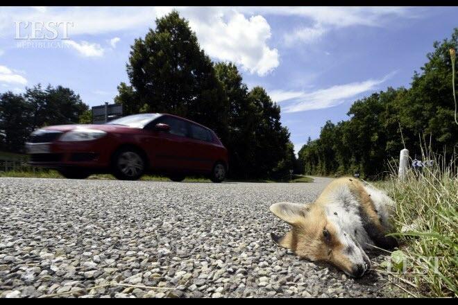 Animaux décédés au bord des routes, que deviennent-ils ?