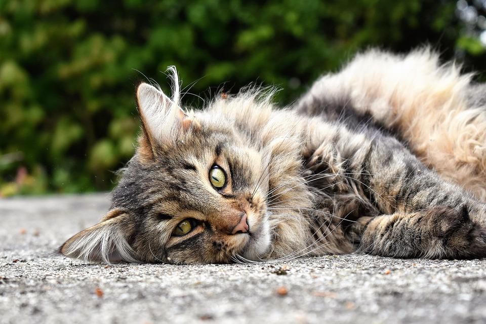 Attention l'anti-puce de votre chien peut tuer votre chat