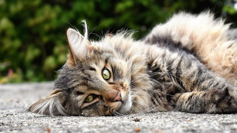La permethrine vendue comme anti-puces chez les chiens est nuisible pour les chats.