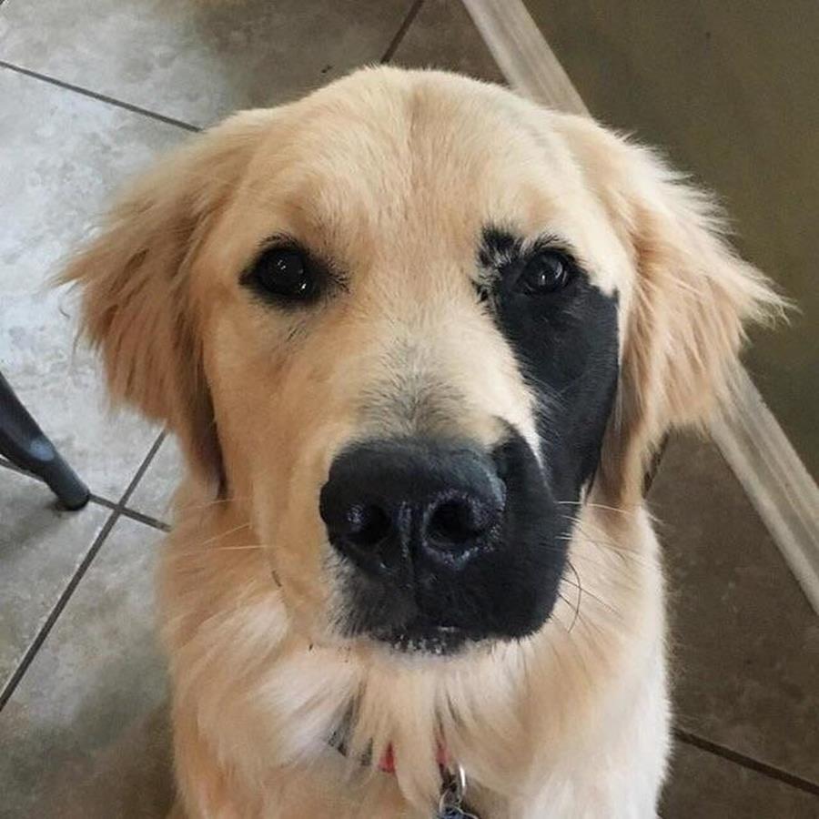Vitiligo chez le chien : causes, traitement, origine