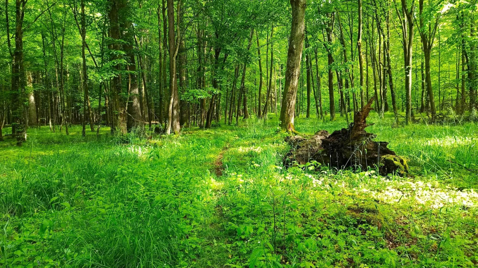 Wyprawa wgłąb Puszczy Białowieskiej. Dzień pierwszy: odHajnówki doCzerlonki