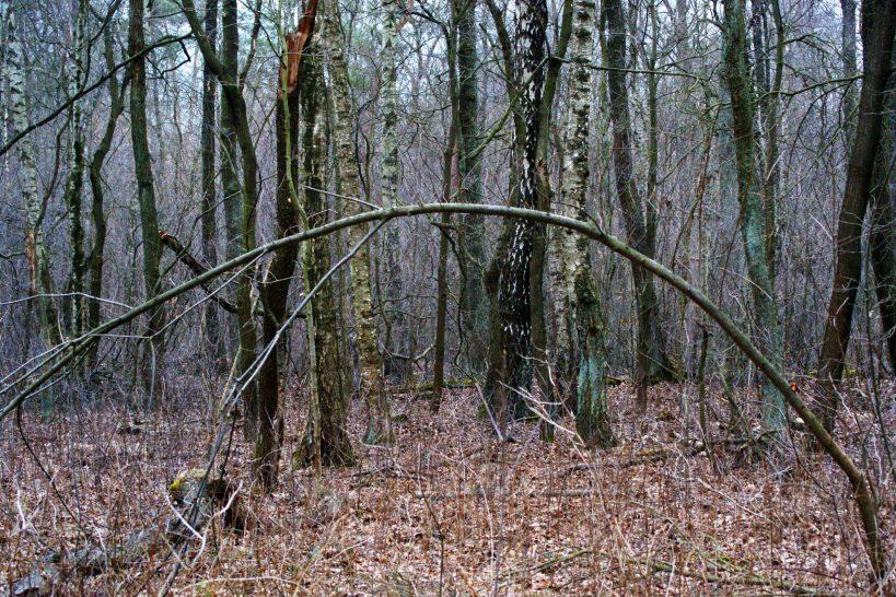 Las i czas. Brzozy moje, brzozy