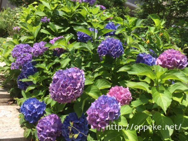 絵手紙,紫陽花