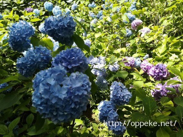 神戸森林植物園のあじさい 究極の見ごろはいつ?私の体験レポ!