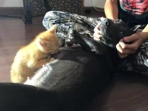 cachorra adota filhote de gato