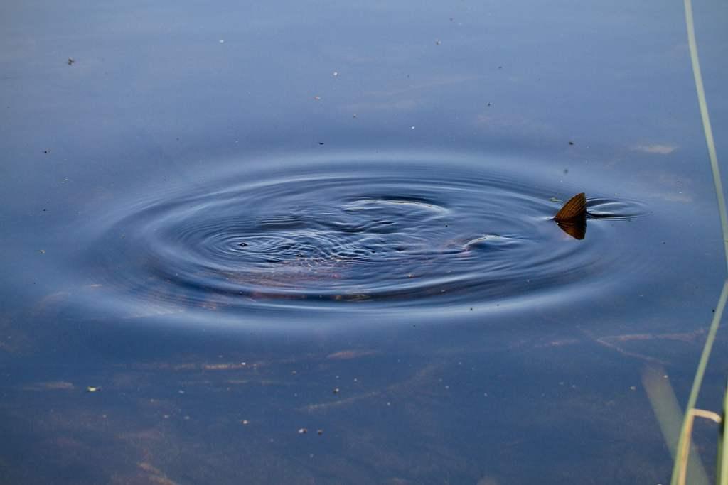 Stor ørret vaker tett på land. // Foto: Andreas Lium