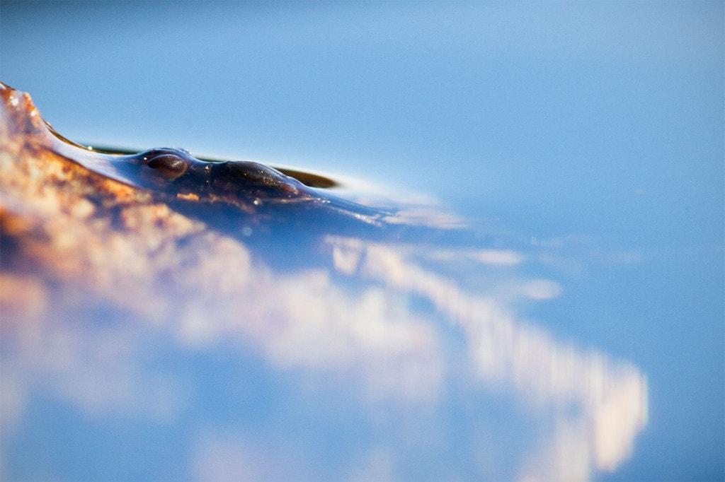 Nymfen på vei opp av vannet. Starten på slutten. // Foto: Andreas Lium