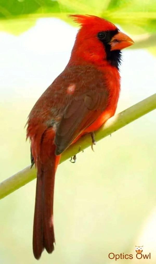 Illinois state bird: Northern Cardinal
