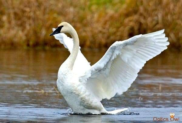 Trumpeter Swan, Colony Farm Regional Park, Port Coquitlam, British Columbia