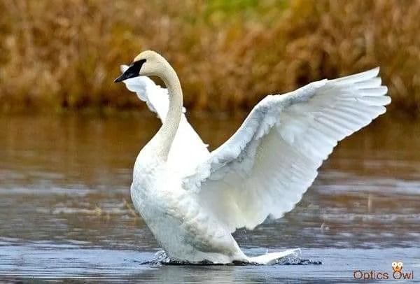 Trumpeter Swan, Colony Farm Regional Park, Port Coquitlam, British Columbia