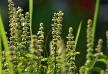 basil seeds benefits