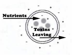 Cell - toxins leaving