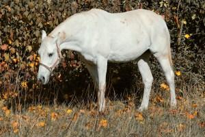 horse, white, pasture