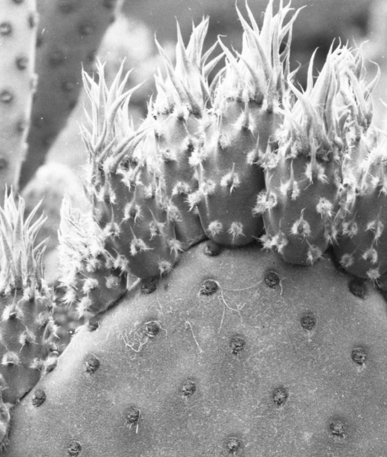 Opuntia microdasys-like 4465