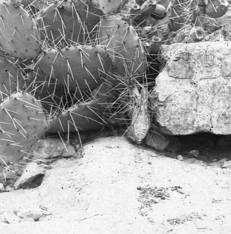 Opuntia phaeacantha 5220