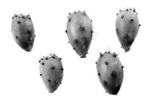 Opuntia gilvescens 7374