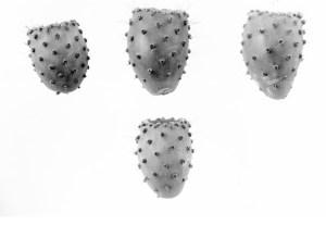 Opuntia guilanche 7381