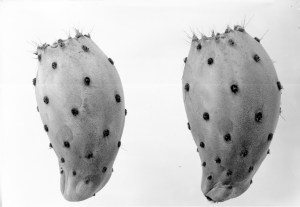 Opuntia amarilla-like 7385