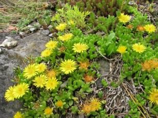 RARE succulentes graines! Delosperma NUBIGENUM 10