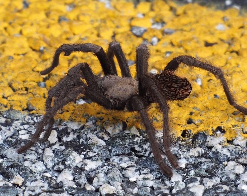 California tarantula, J Maughn