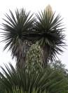 Yucca treculeana, Sergio Niebla