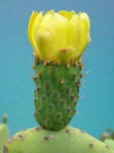 Opuntia ficus-indica flower bud