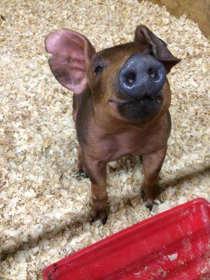 Duroc Show Pig