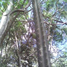 Subpilocereus horrispinus, paul steven Tomafas