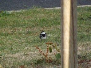 Pied wagtail in OP photo credit: Tim Inskipp