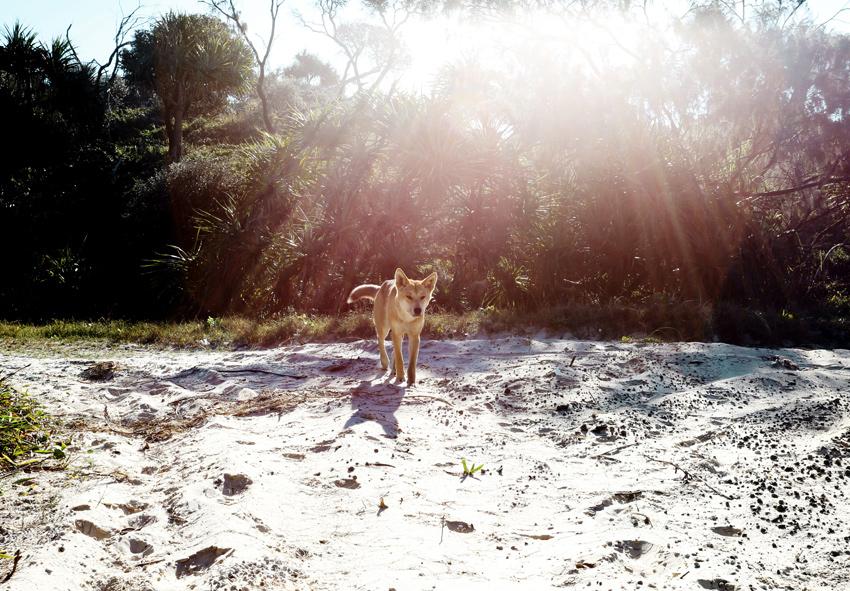 Havis-Dingo