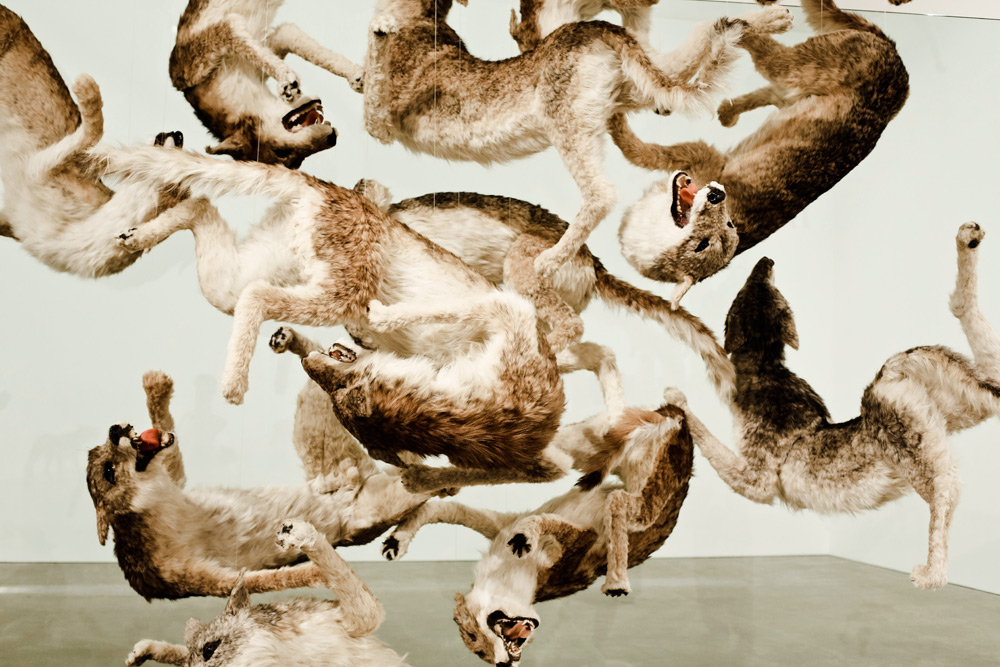 Cai Gua Qiang, artist, installation, animals, falling, back, to , earth, brisbane, drinking, pond, wolves jumping, oracle, fox