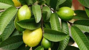 Guava leaves natural remedy