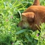 犬が外で雑草を食べる