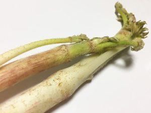 犬 ウド うど 食べる 与える 中毒 大丈夫 春の山菜