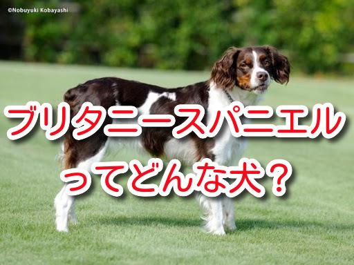 ブリタニー 犬 ブリタニースパニエル