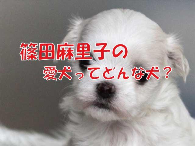 篠田麻里子 マルチーズ 犬