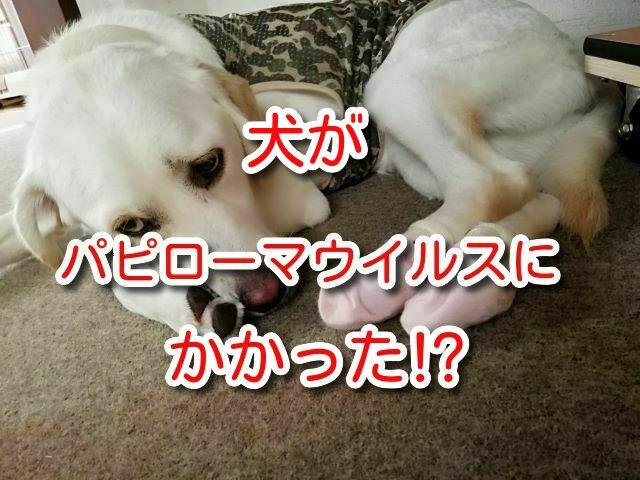 パピローマウイルス  犬 乳頭腫