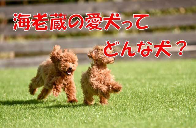 海老蔵 犬 トイプー