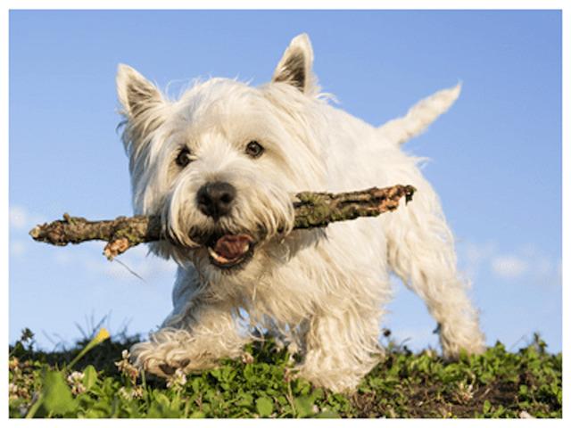 ウエスティー ホワイト犬