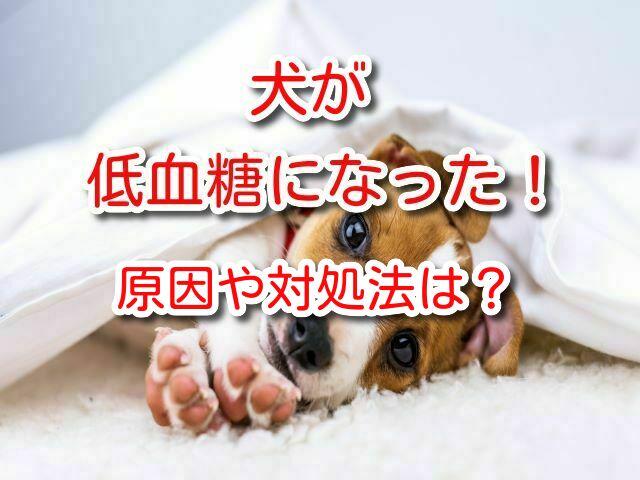 犬 低血糖