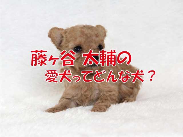 藤ヶ谷 太輔 プードル 愛犬