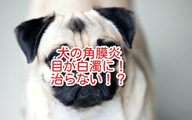 角膜炎 犬